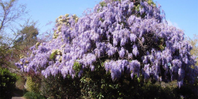Wisteria.. prune twice a year to keep it under control.