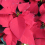 Poinsettia… its bright-red bracts are synonymous with Christmas.