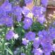 "Campanula persicifolia ""Telham Beauty""."