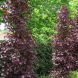 Prunus… a great, small tree for screening.