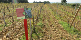 Preserving valuable moisture by using stones between the lines of vines.