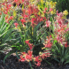 Kangaroo paws… over the last 25 years there have been intensive hybridisation programs to provide a wide range of colour and sizes.