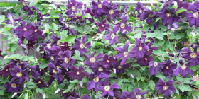 """Romantika""...  the perfect name for a stunning clematis."