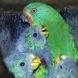 Swift parrots nest. Photo by Dejan Stojanovic, ANU