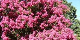 A crepe myrtle in a Watson garden… now planted in Queanbeyan's main street, get the hint Canberra!